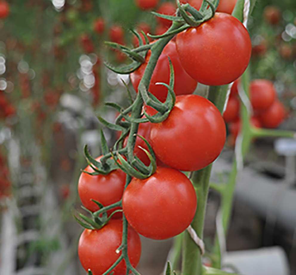 -دانژه بذر مانا-گوجه فرنگی – DS-T1030-حمید امیر سیدی